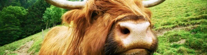 highland-cow-1200x330